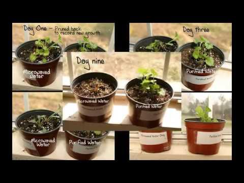 Wirkung von Mikrowellen bestrahltem Wasser auf Pflanzen