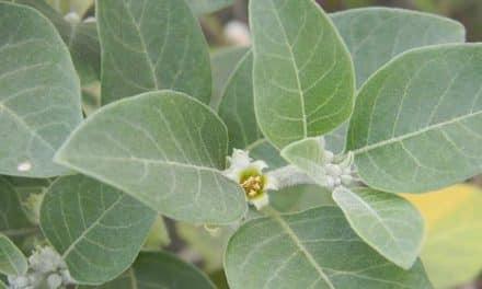 Ashwagandha und Brahmi – Mit Pflanzenpower gegen Heißhungerattacken und Zuckersucht