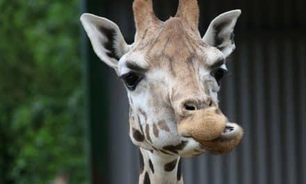Gewaltfreie Kommunikation: Giraffenohren oder Wolfsohren?