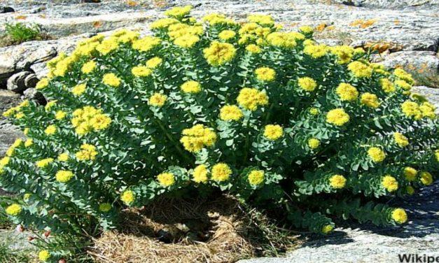 Rhodiola Rosea (Rosenwurz): Ein wirksames Naturheilmittel gegen Stress und Burnout?