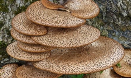 Gute Nachrichten: Pilz macht Plastik kompostierbar