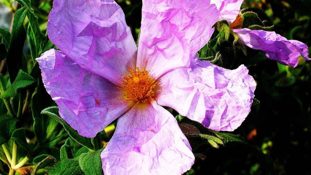 Zistrose Blüte für ein starkes Immunsystem und gesunde Abwehrkräfte